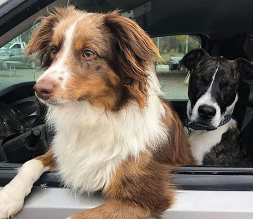 Two dogs sticking their head out of the car window
